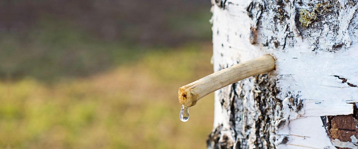 birkenwasser-ernte2